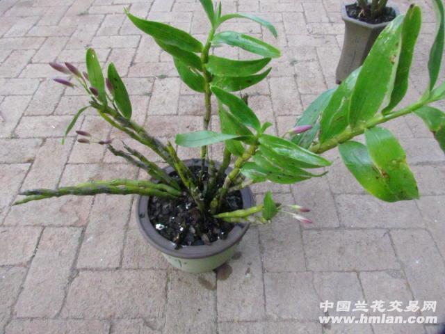 野生金钗石斛带花苞16苗